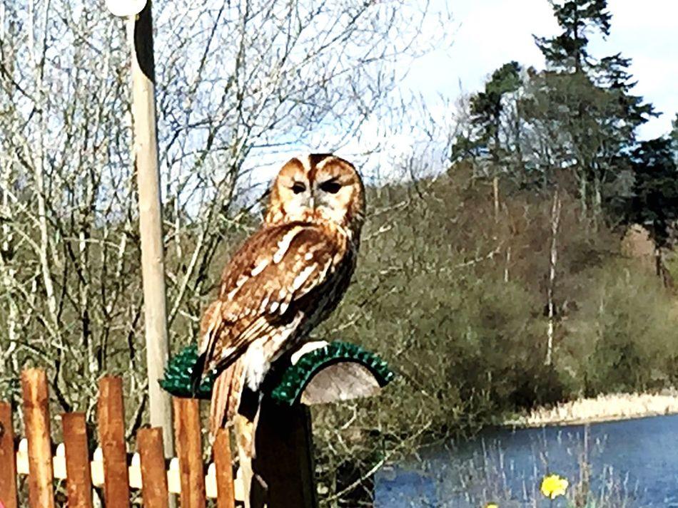 Deceptively Simple , owl, wildlife