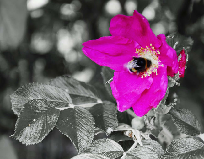 Flower colors - pink rose with bumblebee Beauty In Nature Bee Blossom Botany Bumblebee On Flower Bumbleebee Flower Flower Head Fragility Insect Nature Pink Color Plant Pollination Playing With Colours Playing With Colors Roses🌹 Rose🌹 Roses Wild Flowers Wild Rose Fine Art Photography