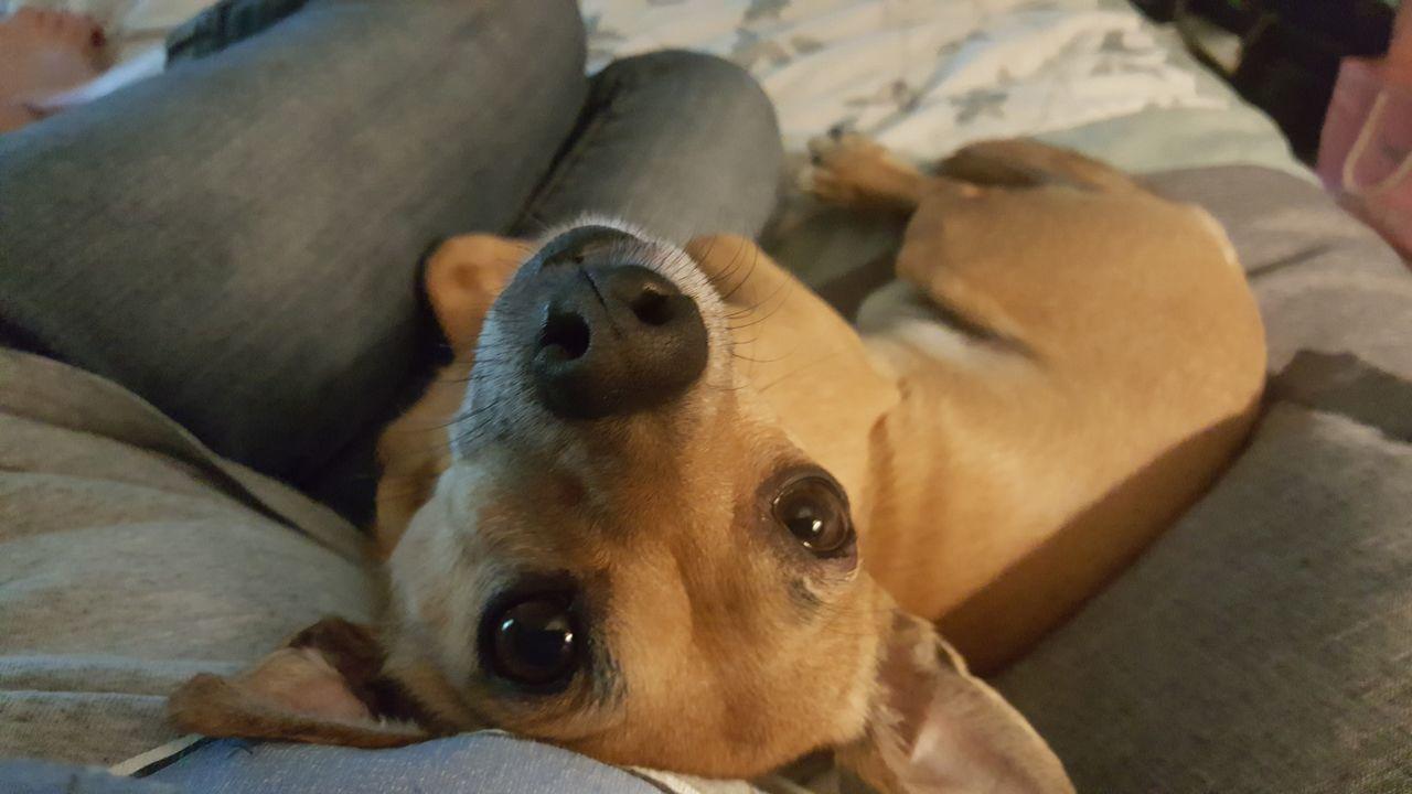 Dog One Animal No People Peanut Doggy Dog Life My Pet Mydogisthebestintheworld Dog Photography Chihuahua Pet Photography  Dogphoto Dog❤ Pets Corner Ilovemydog Taking Photos Close-up Dogofeyeem Looking At Camera