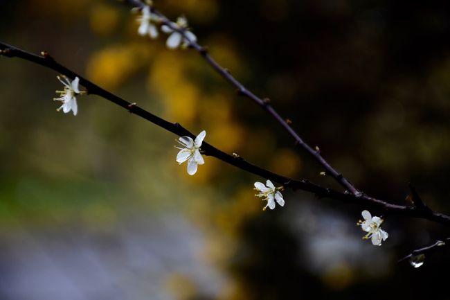 Nature Nature Photography Blossom Spring Flowers Flower fl Flora Nikonphotography Nikon D7200
