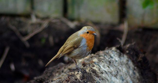 Robin Redbreast Bird Nature