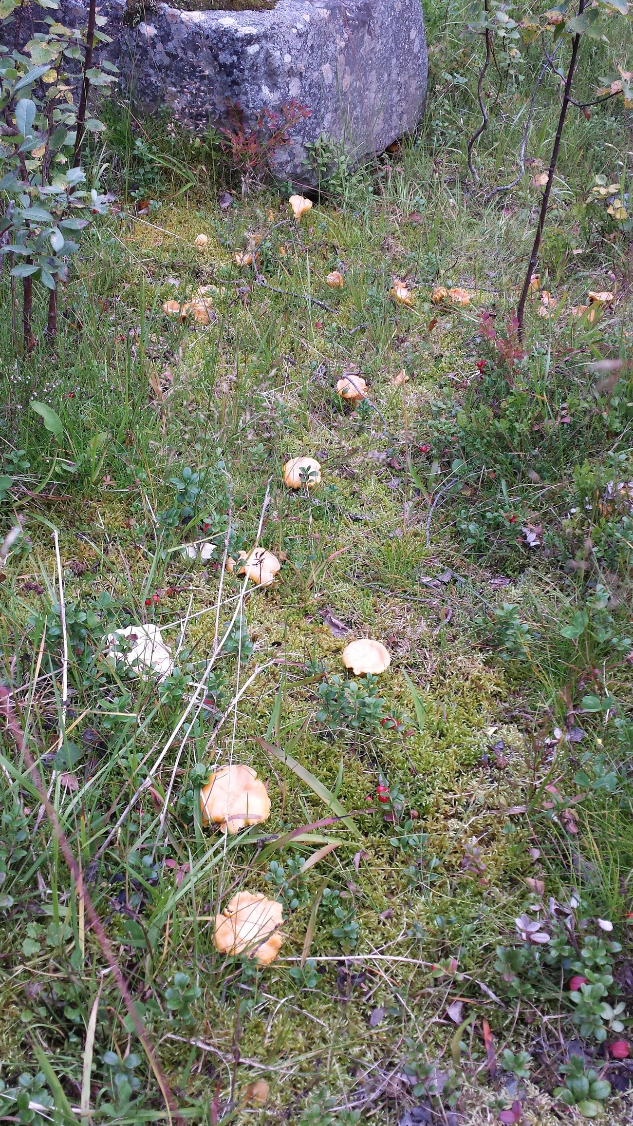 Mushroom Chantarelle Yellow Growing In The Yard