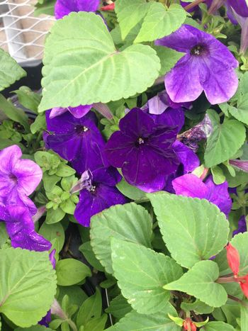 Outdoors Leaf Growth Beauty In Nature Nature Green Color Purple Flower Plant Day Freshness High Angle View Fragility No People Petal Close-up Flower Head Petunia