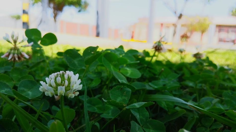 Flower Plant Leaf Outdoors Growth Focus On Foreground Day Nature Beauty In Nature Green Color Freshness No People Close-up Flower Head Fragility City Sky