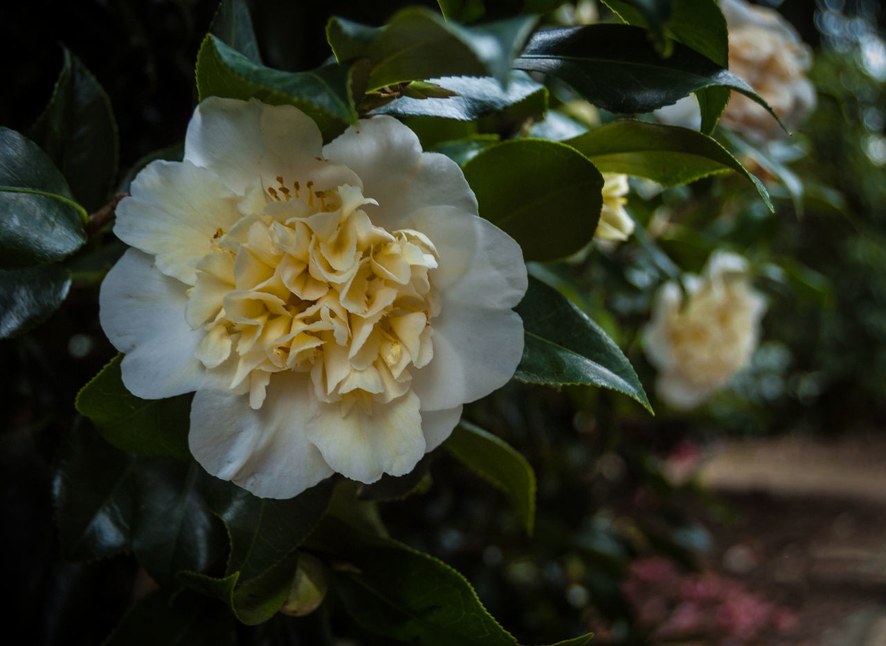 camellia Beauty In Nature Blooming Camellia Camellia Flower Close-up Day Flower Flower Head Fragility Freshness Growth Leaf Nature No People Outdoors Petal Plant