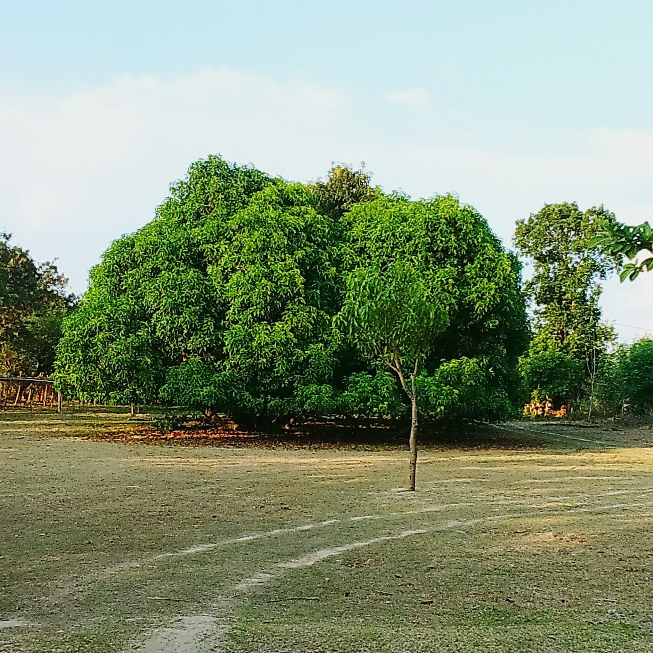 Big Mango Tree 🌳 Nature Things That Are Green Phontography Landscape_photography