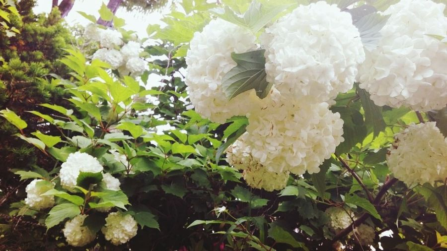 수국 아름다움 일상 이쁨 꽃스타그램 Beautiful 꽃 Daily Life Spring Spring Flowers Springtime 수국 수국꽃