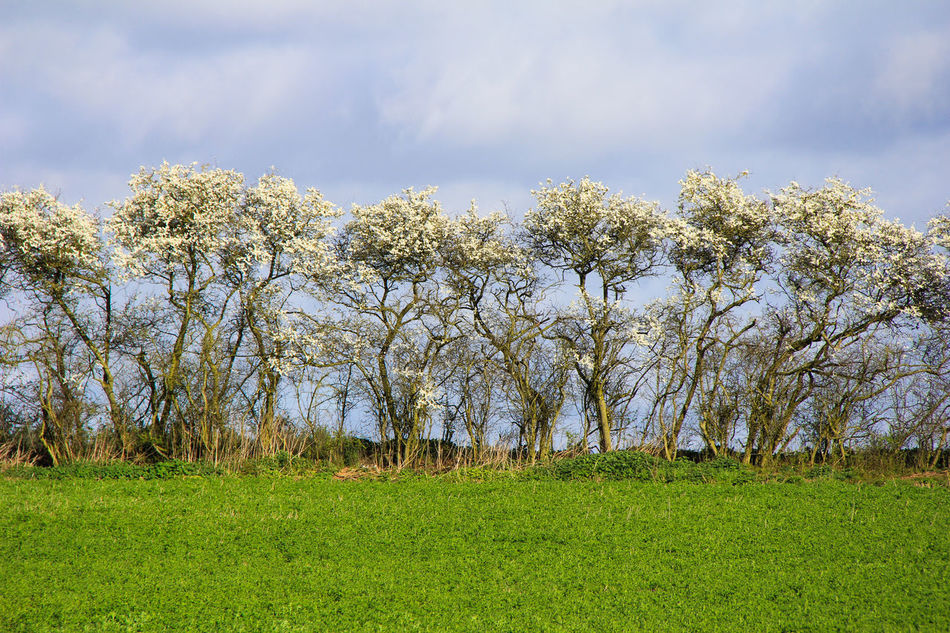 Agriculture Beauty In Nature Blossom Cloud - Sky Day Field Growth Hawthorn Hedge Landscape Nature No People Outdoors Sky Tree