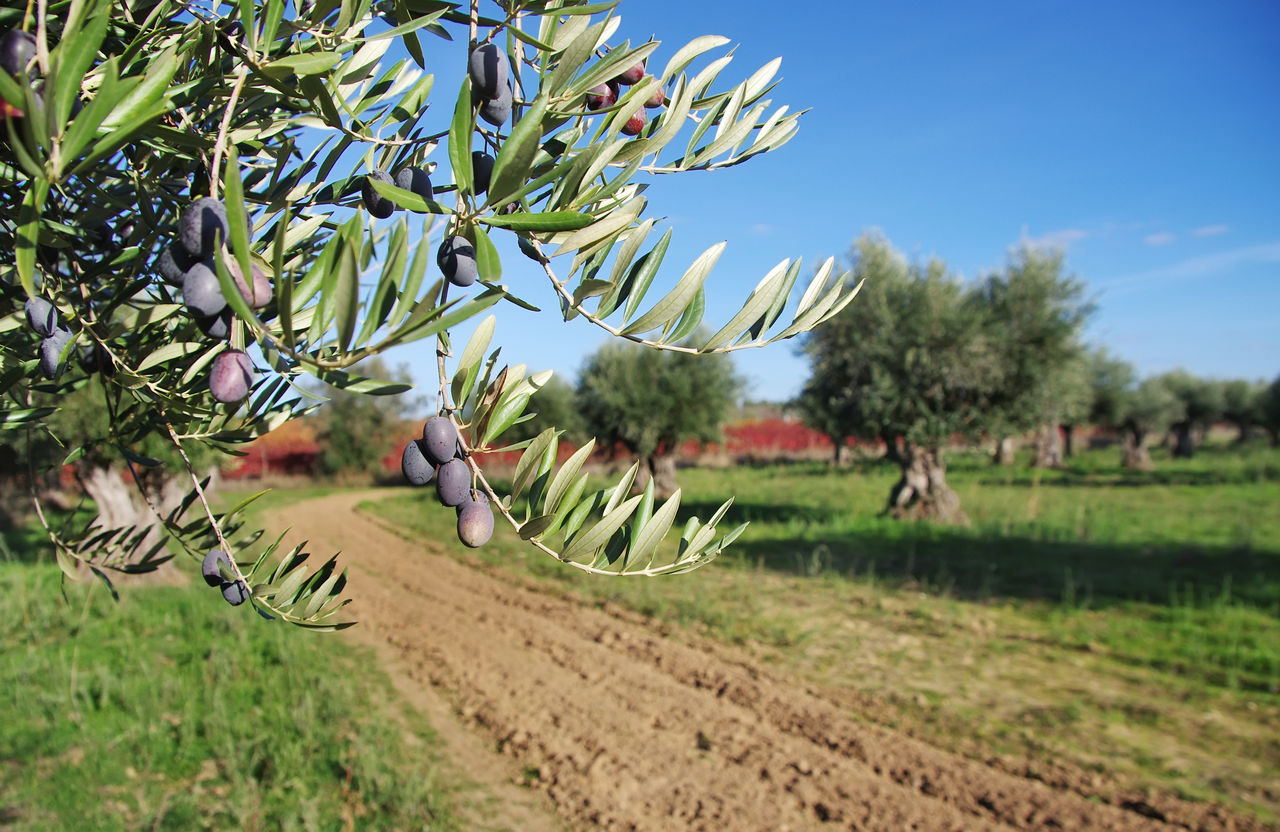 olives on branch Agriculture Branch Field Fruit Growth Landscape Nature Olives Leafs Olives On Branch Rural Scene Scenics Sky Tree
