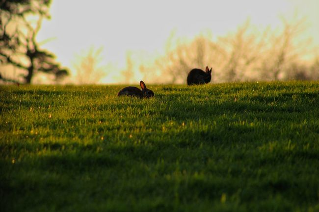 Spring 2016 Wild Rabbits Spring Bunnies Sunset EyeEm Sunsets EyeEm Best Shots - Nature EyeEm Best Shots EyeEm Gallery Our Best Pics The Purist (no Edit, No Filter) Exceptional Photographs Silhouette_collection Background Nature_collection Evening Sunset Animal Magic Springtime Haze Natures Magic Signs Of Spring Two Is Better Than One Natures Diversities Beauty In Nature EyeEm Nature Lover Nature