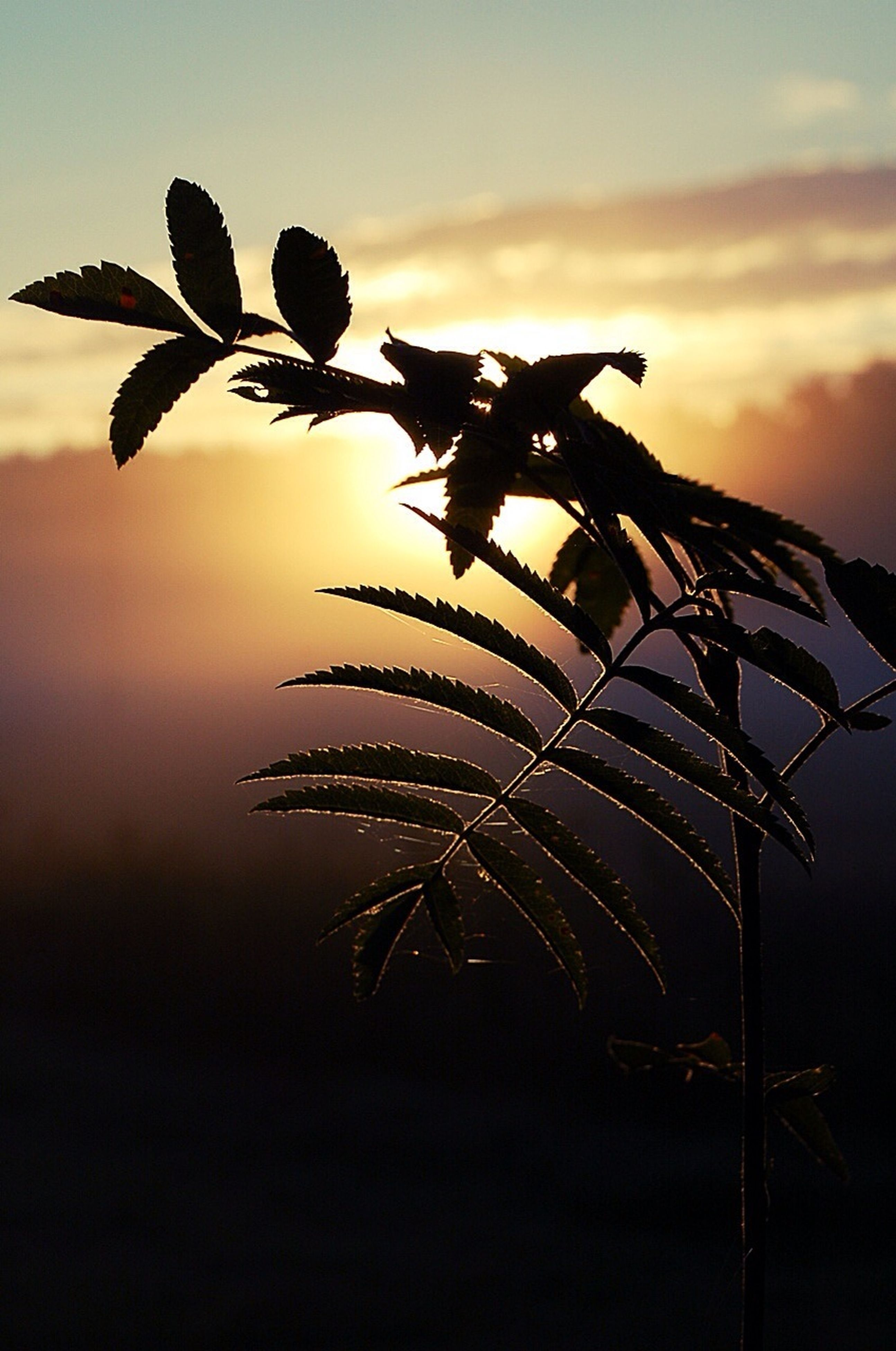 low angle view, silhouette, plant, close-up, growth, sky, nature, clear sky, dusk, outdoors, no people, focus on foreground, night, tranquility, copy space, beauty in nature, sunset, stem, leaf