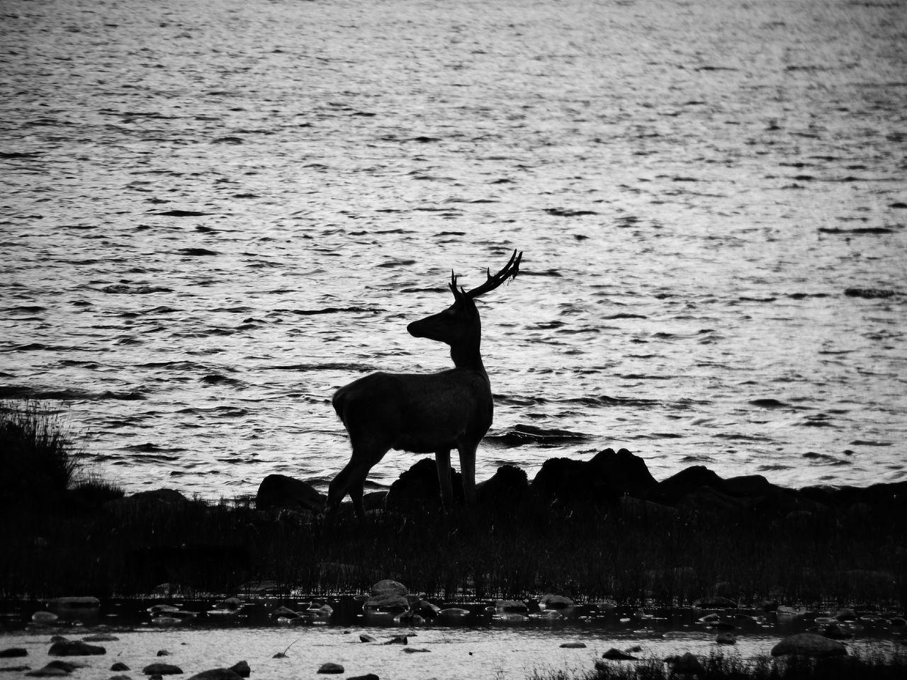 Reddeer Blackandwhite Animals Animallovers Deer By A Lake Lakeshore Lakeside Nature Naturelovers