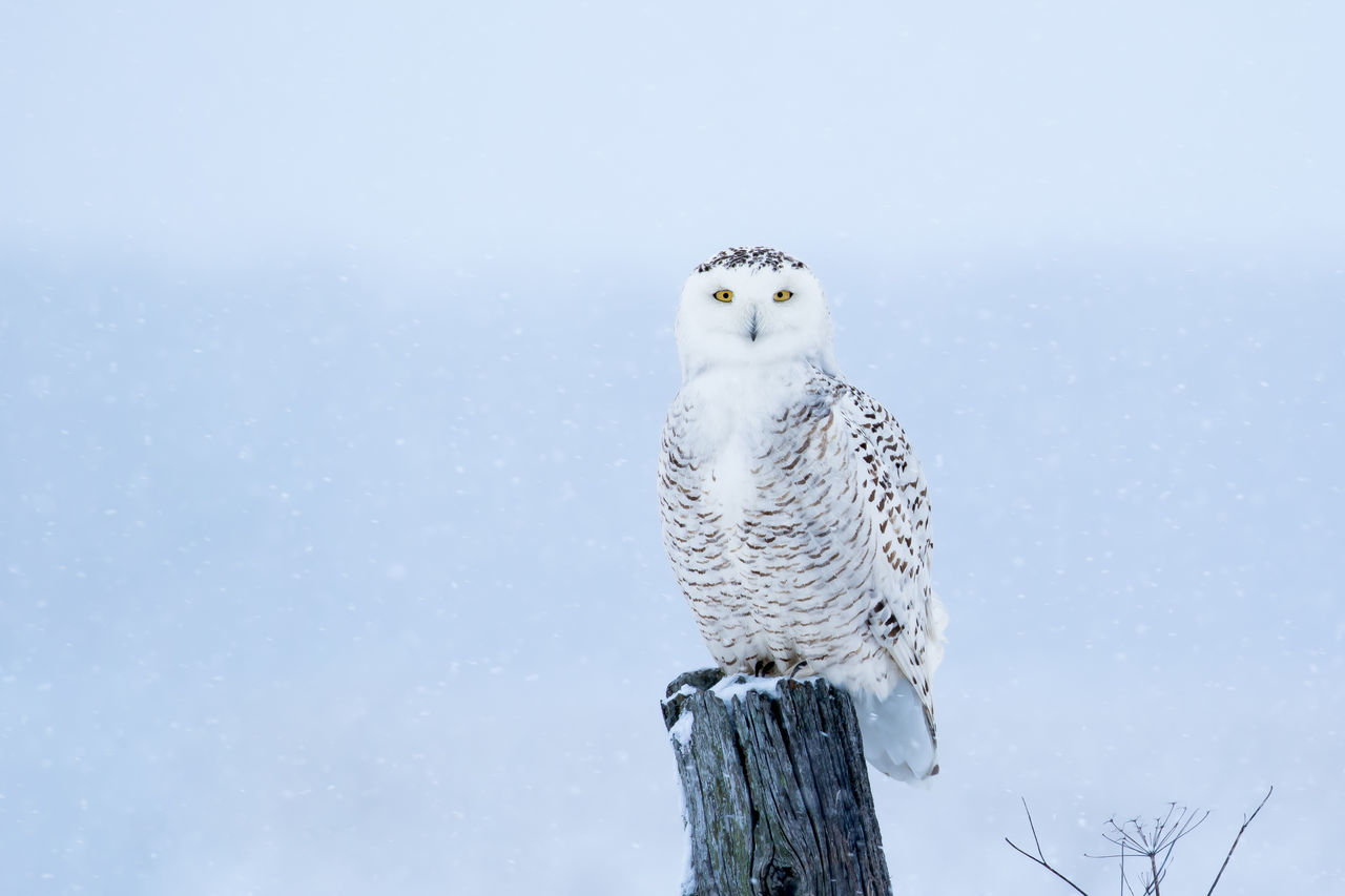 Snowy Owl, Bubo Scandiacus, surrounded by snow flakes, perched on a post making eye contact with piercing yellow eyes. Animal Themes Animal Wildlife Animals In The Wild Beauty In Nature Bird Bird Of Prey Bubo Scandiacus Close-up Day Low Angle View Mammal Nature No People One Animal Outdoors Owl Perching Portrait Sky Snowy Owl
