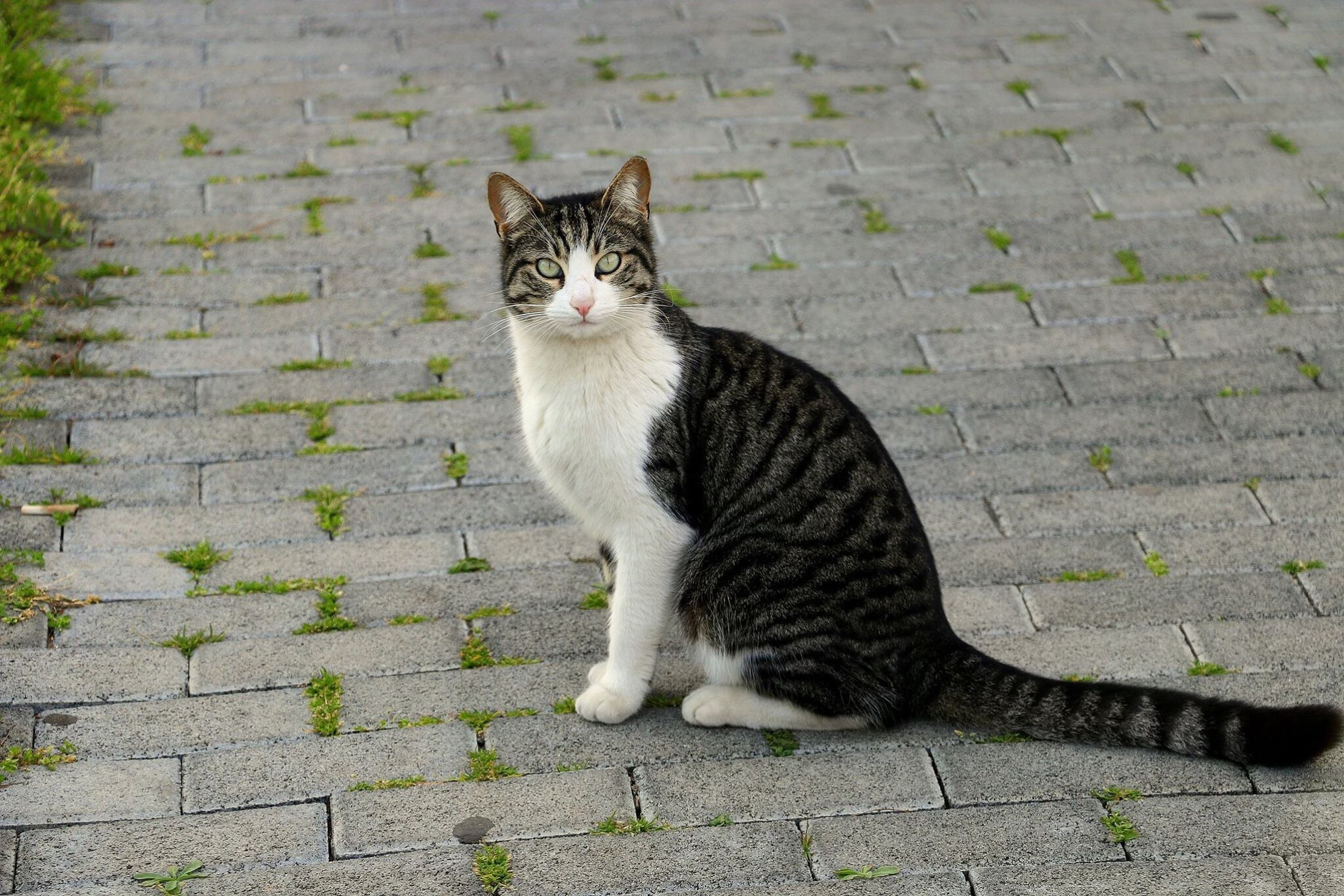 Domestic Cat One Animal Animal Themes Pets Domestic Animals Mammal Feline No People Outdoors Day