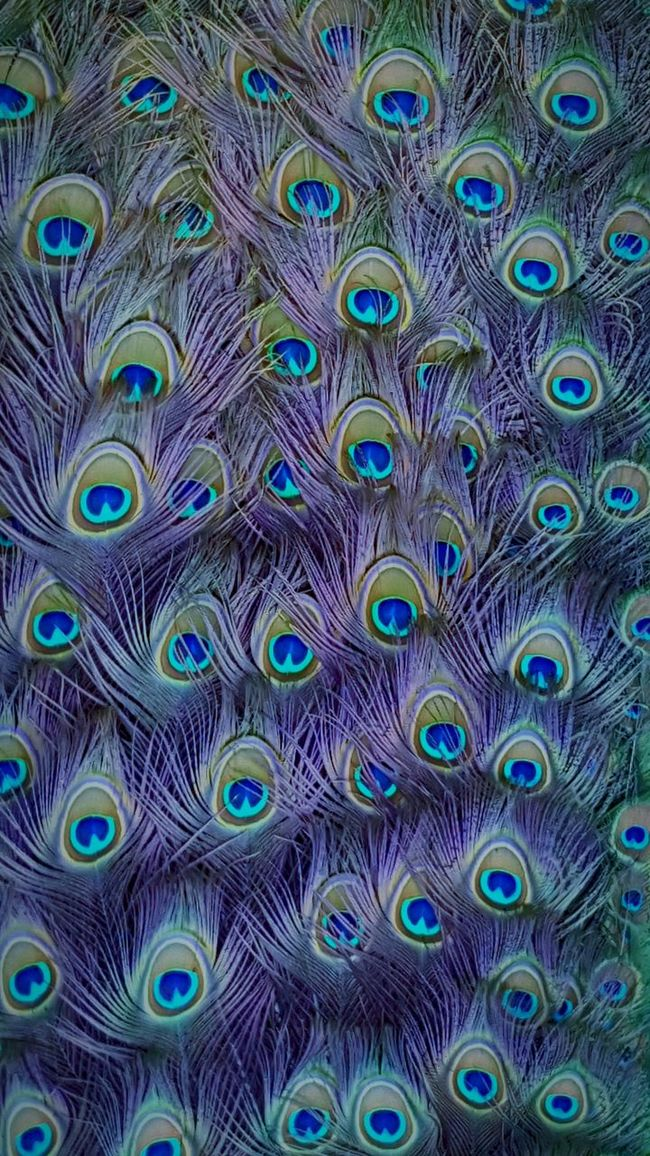 Showcase April Peacock Feather Collection Peacockporn Peacock Art Peacock Feathers Blue Eyesgreen Eyes Green Bold And Beautiful Neons Natural Beauty Natural Pattern EyeEm Nature Lover Showcase April