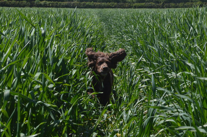 Grass Nature Animal Wildlife Mammal No People Ears Running Animal Themes Domestic Animals Outdoors Dog Photography Pets No Edit, No Filter, Just Photography Nikon D3200 Grass Canine Field Spaniel Pet Portraits