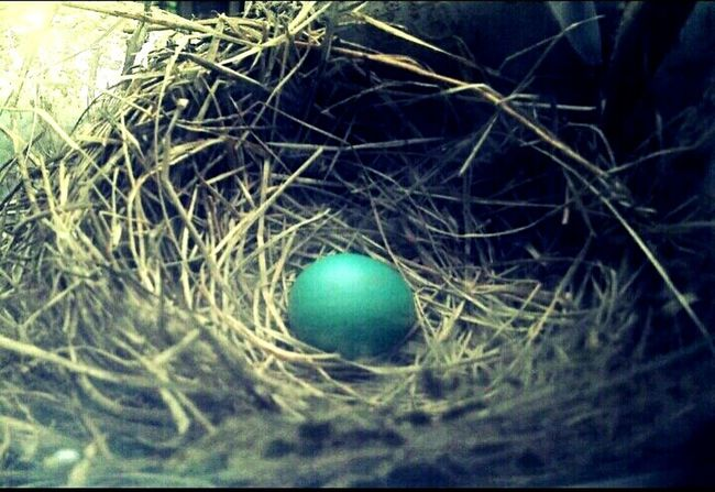 Beginning Of Life  Bird Egg Bird Nest Close Up Nature Photography EyeEm Nature Lover Animals Of Flight Outside Life Egg Watcing Blue Small Creatures Delicate Fragility Natural Habitat Beauty In Nature Bird Egg Collection Wonder Window Nest Adorable