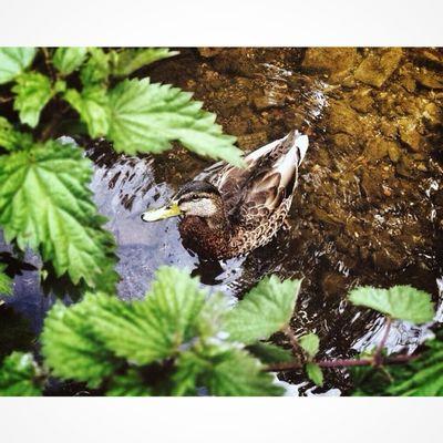 Ducky.. Ducks Naturelover Ig_britishisles Loves_united_kingdom iphonographyrsa_natureanimalsfiftyshades_of_naturecapturingbritain