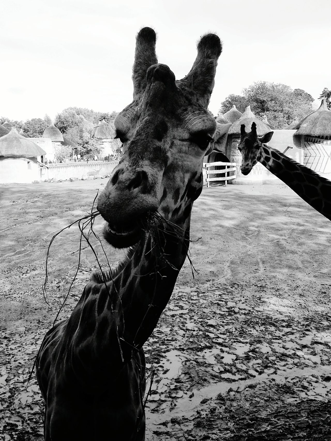 Sa Bkack&withe Portrait Animal Giraffe Africa Savana Funny Faces Funny Zoo GALAXY S4 Mobilephotography