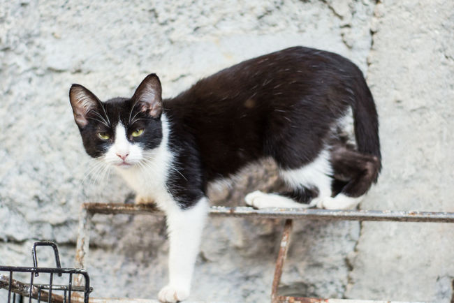 One Animal Animal Themes Domestic Cat Domestic Animals Cat Mammal Pets Focus On Foreground Alertness Whisker Feline Outdoors Zoology Day No People Black And White Holding Tall - High Nature