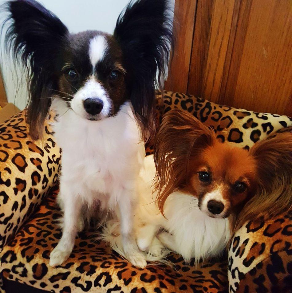 Dogstagram Ilovemydog Dogslife Mansbestfriend Papillion, Dog, Cute, Precious, Furry