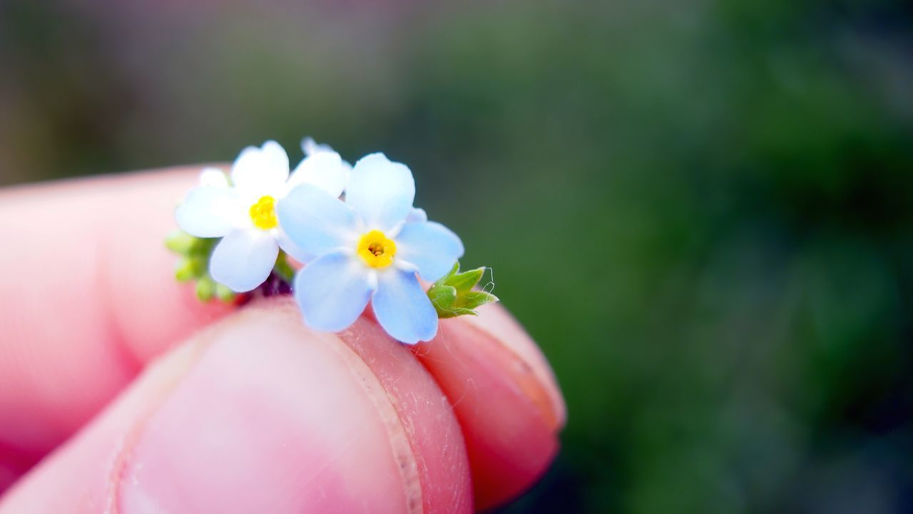 flower, human hand, human body part, real people, one person, petal, close-up, focus on foreground, beauty in nature, fragility, outdoors, nature, flower head, day, holding, tiny, freshness, animal themes, people