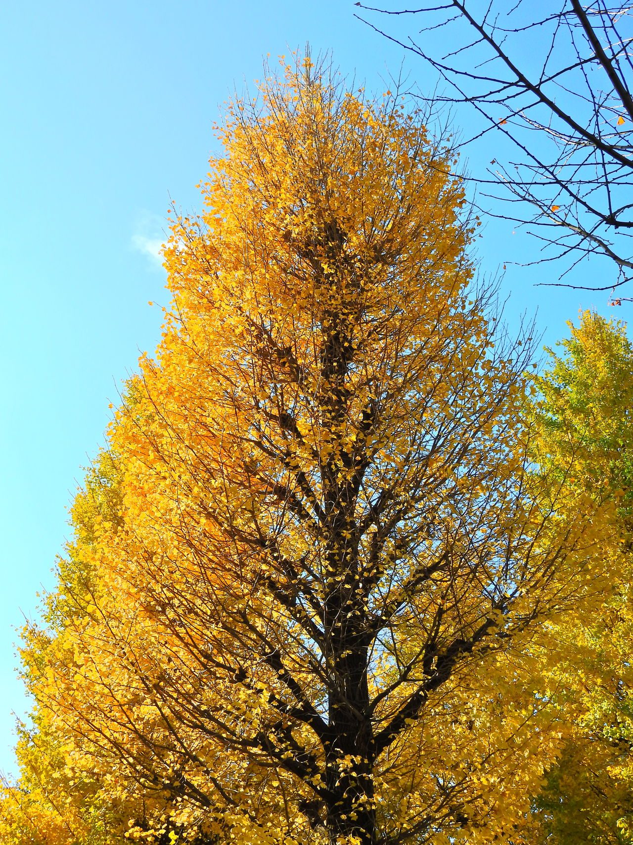 Ginkgo trees Autumn Beauty In Nature Close-up Day Ginkgo Trees Growth Low Angle View Nature No People Outdoors Sky Tree