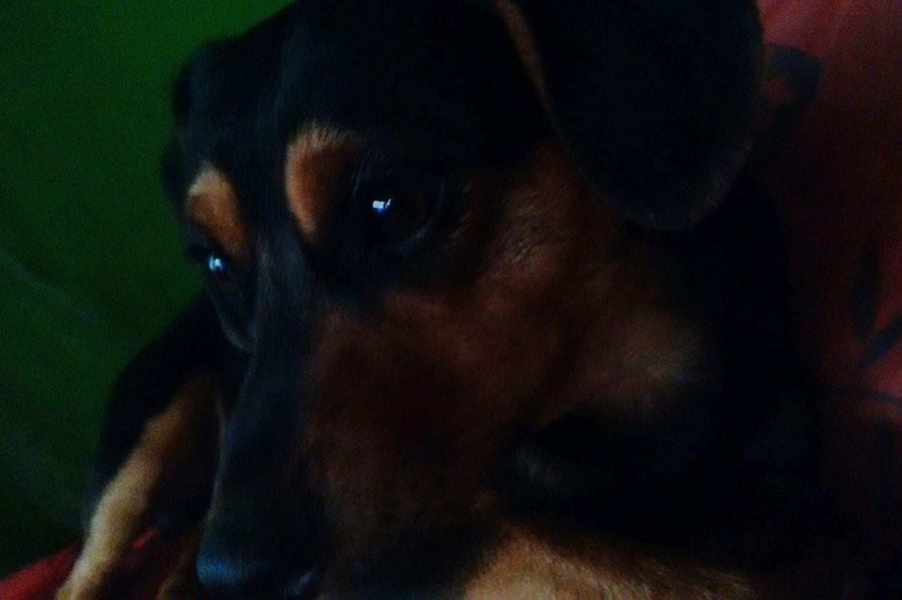 Perro Perros  Perrito Perros❤ Perros Por El Mundo Perritos Perro Time Perro❤ Perrosalchicha Perro :33 PerrosBuenos Perrosconestilo Perrosconencanto Perro Salchicha Perroloco Mascota Mascotas Mascotas 🐶 Mascota Feliz Mascotas :) Mascotaselfie😍 Tommy Tommys