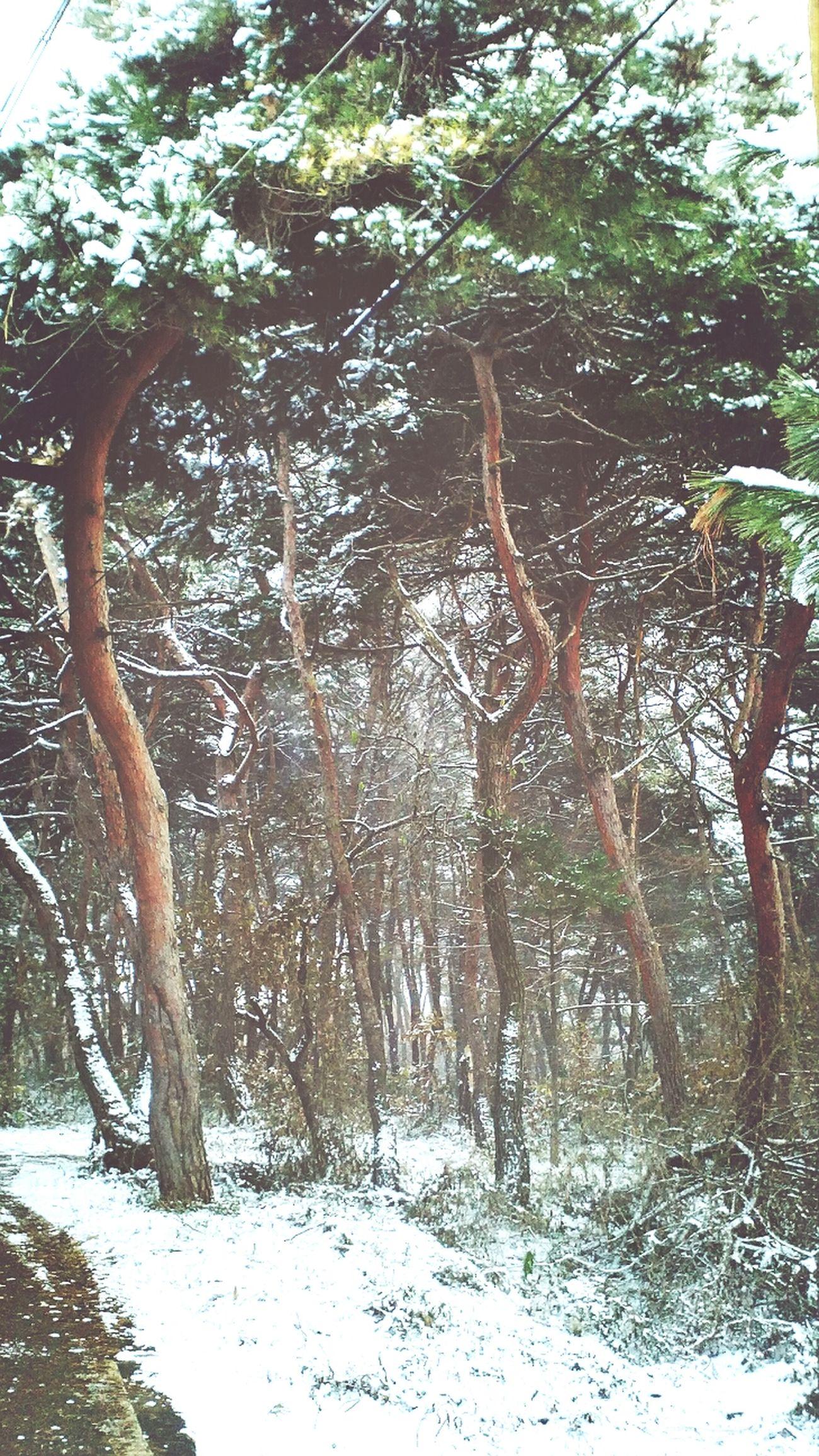 Snow 눈 Snow Trees Pine Trees