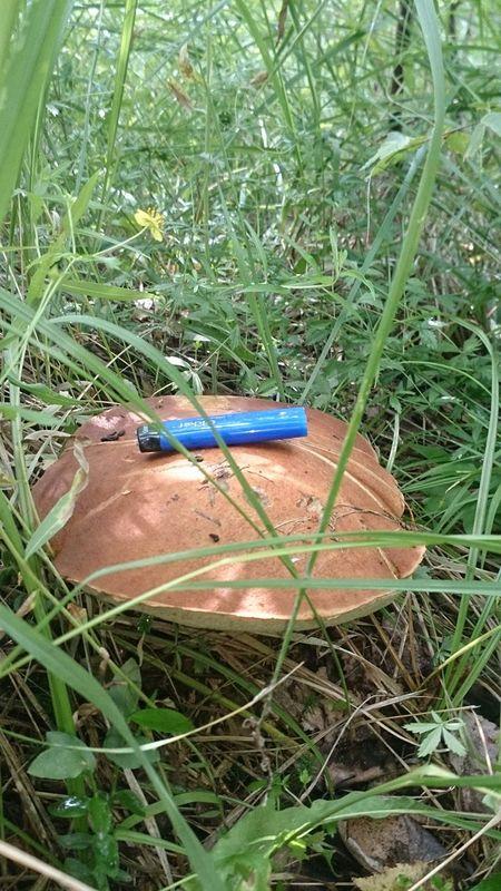 гриб подосиновики