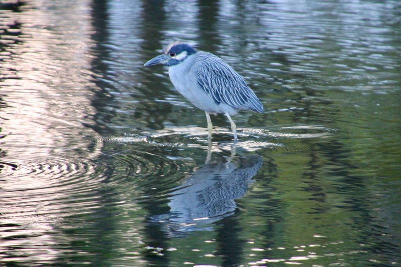 Water Bird Animal Themes One Animal Blue Heron wading Rippling Water Reflections Beauty In Nature