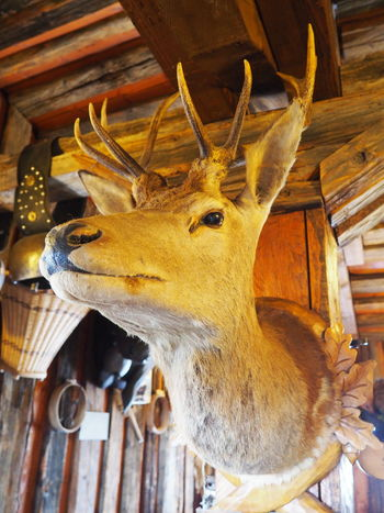 Animal Animal Body Part Animal Head  Dead Animal Deer Hanged Hunting Trophy Mammal No People Remote Location Taxidermy Warm Inside Winter Woods