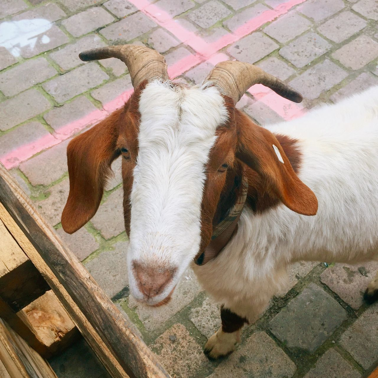 Beautiful stock photos of goat, Animal Themes, Close-Up, Day, Domestic Animals