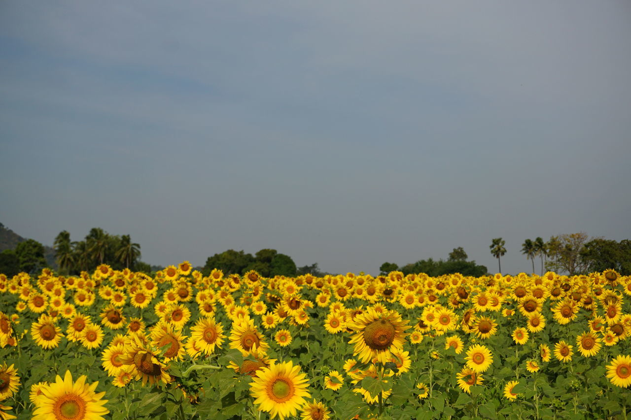 Flower Yellow Nature Beauty In Nature Fragility No People Sunflower Sky Thailand