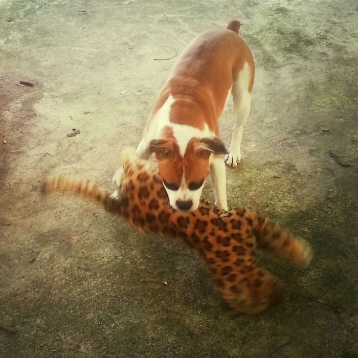 pitbull ataca mortalmente un leopardo Dog And Cat Attack! My Dog Is Cooler Than Your Kids My Dog Is Cooler Than Your Kid.