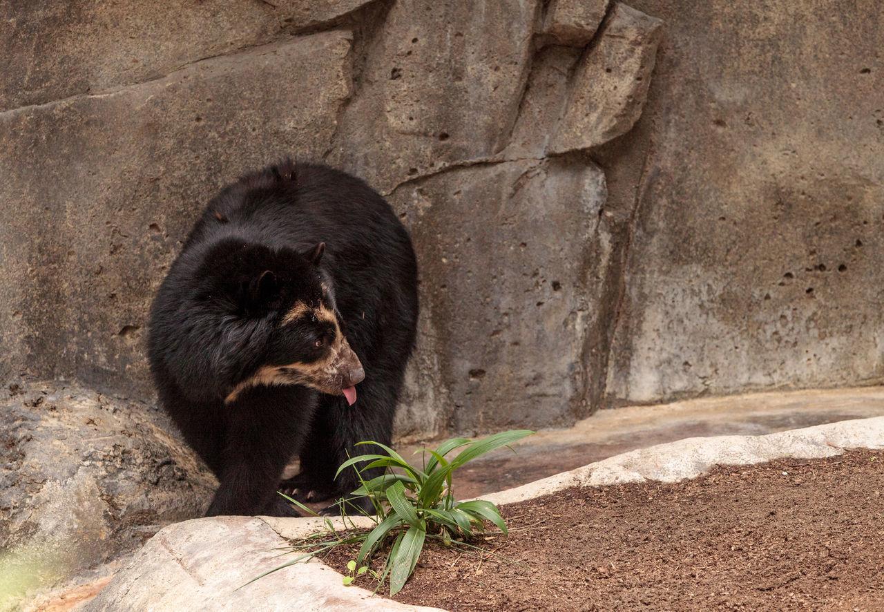 one animal, animal wildlife, rock - object, animal themes, mammal, animals in the wild, bear, animal, no people, nature, day, outdoors, chimpanzee, gorilla, food, close-up