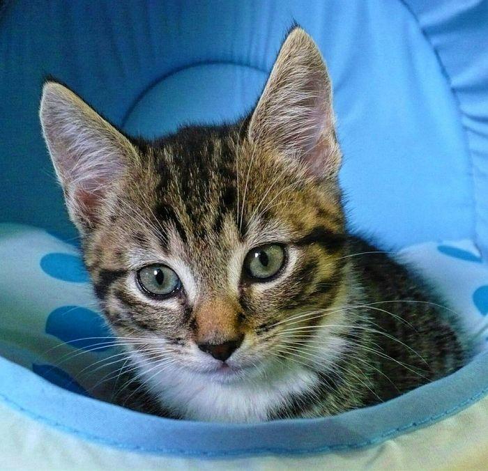 Cookie as a kitten Kittens Of Eyeem Kitten Tabby Kitten Cats Of EyeEm Pets Pretty Little Kittens Cute Pets Sweet Kitten Stripy Cat Head Shot  Alertness Animal Head Pet Portraits