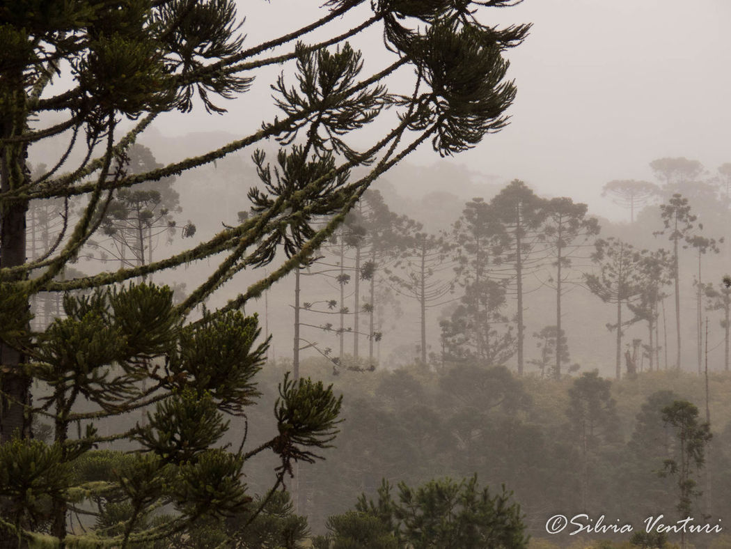 Araucaria Araucaria Tree Branch Cold Temperature Fog Landscape Nature Scenics Tree Wild