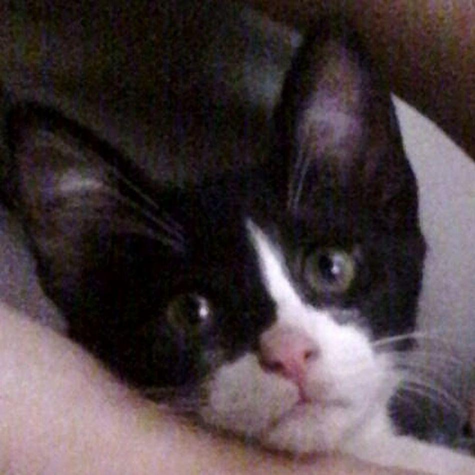 Cute♡ Eyeem Market @wolfzuachis Animals Cat Pufosenii Kitty Cute Kitten Pufosi