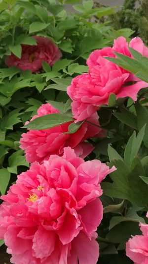 Flower Nature Pink Color peony Taken In China