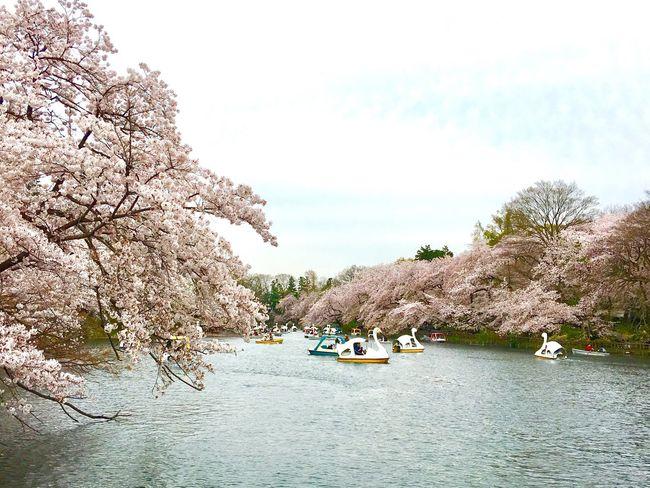 天気は曇りやったけど幸せな花見でした🌸 Beauty In Nature Nature Happiness Cherry Blossoms Japanese Cherry Blossoms Inokashira Park Sakura 井の頭公園 桜見 20170410 いつかボートに乗ってみたいな…