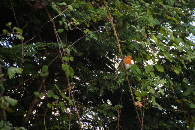 Animal Themes Animal Wildlife Animals In The Wild Beauty In Nature Bird Branch Day Growth Low Angle View Nature No People Outdoors Perching Robin Robin Redbreast Tree