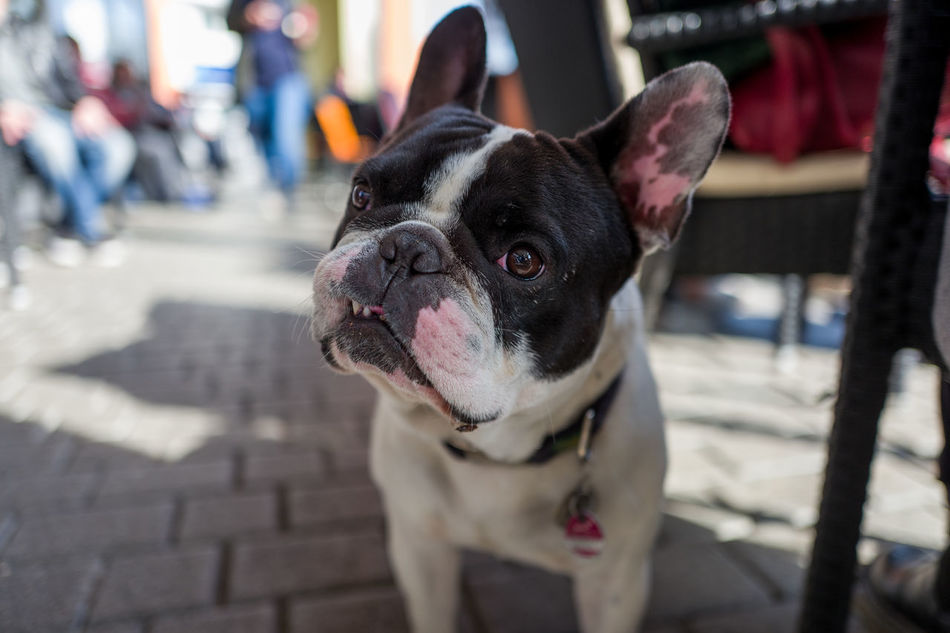 Henry I. in Frankfurt Animal Themes Boston Terrier Close-up Day Dog Domestic Animals English Bulldog Focus On Foreground French Bulldog Mammal No People One Animal Outdoors Pets