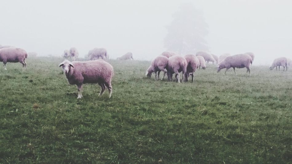 Counting Sheep Eye4photography  Foggy Day EyeEm Nature Lover