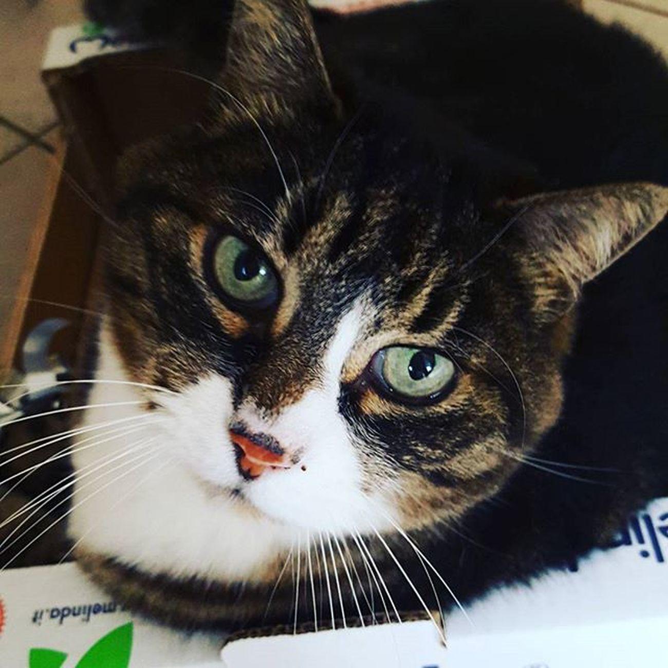 Lamibaffona Occhioni Occhiverdi Mylili Cat Instapic Pet Webstagram