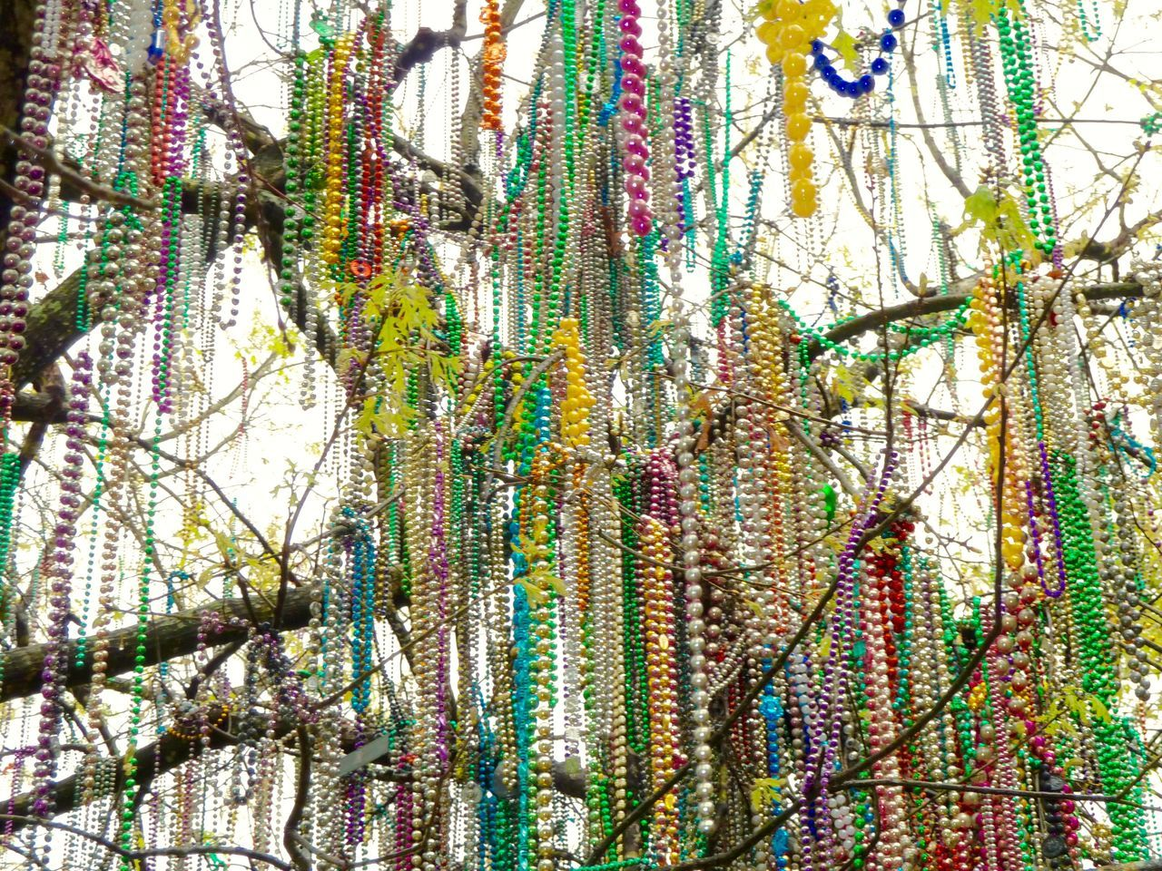 Tree Mardi Gras Beads Colorful Tulane University New Orleans Mardi Gras Adorned No People Outside After The Party