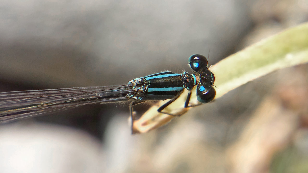Ischnura Elegans - Serchio River Arthropoda Close-up Coenagrionidae Damselfly Dragonfly Nature Insects Dragonfly💛 Hexapoda Insect Insecta Ischnura Ischnura Elegans Nature Odonata Outdoors Zygoptera