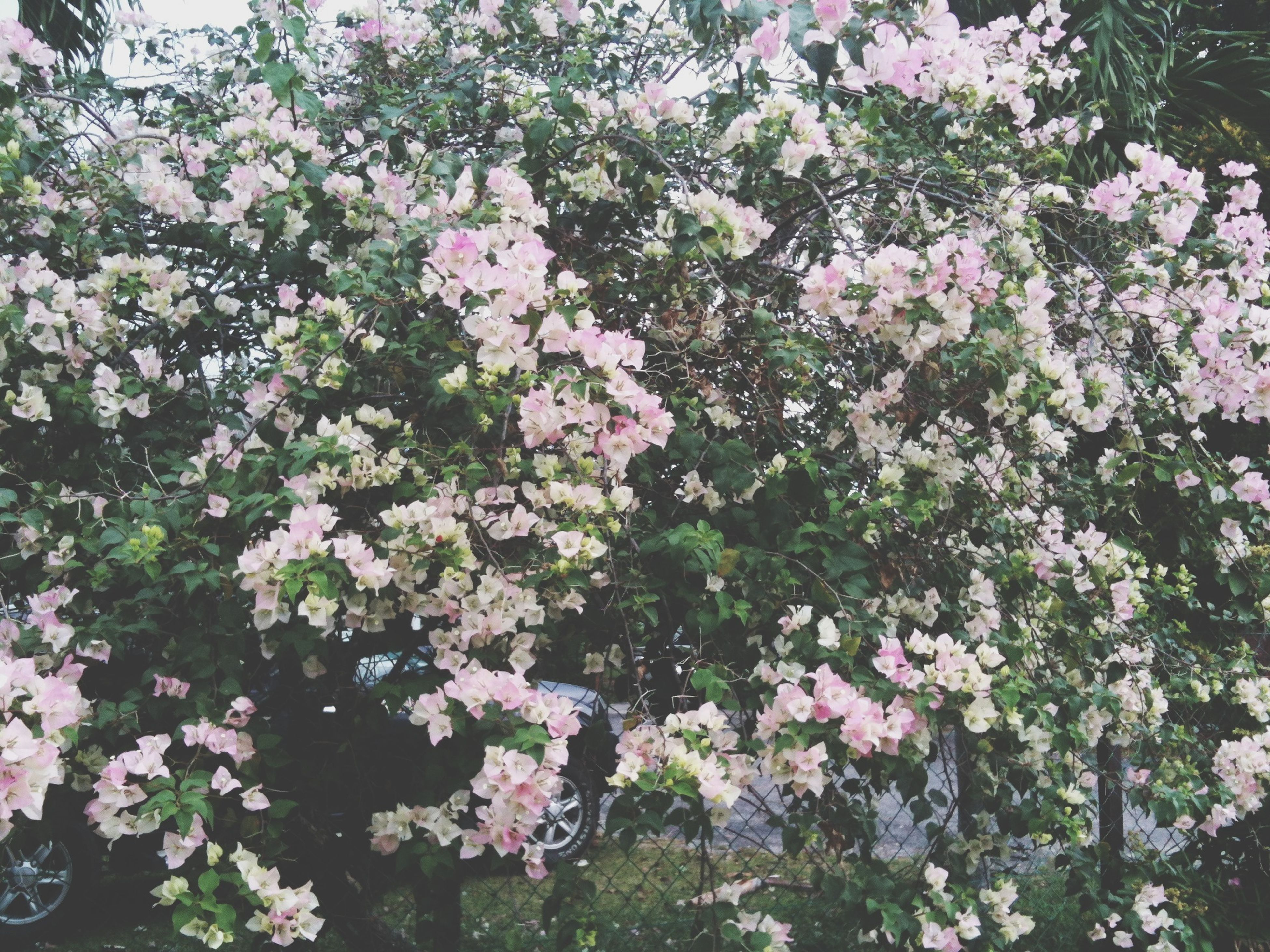 flower, freshness, growth, fragility, beauty in nature, petal, blooming, nature, plant, pink color, in bloom, blossom, tree, flower head, springtime, park - man made space, outdoors, day, leaf, no people