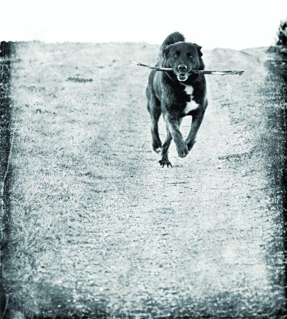 Retrieving. One Animal Dog Retrieving Spielen Spielender Hund Stöckchen Apportierender Hund Hund Hundefotografie Hundeleben EyeEmNewHere