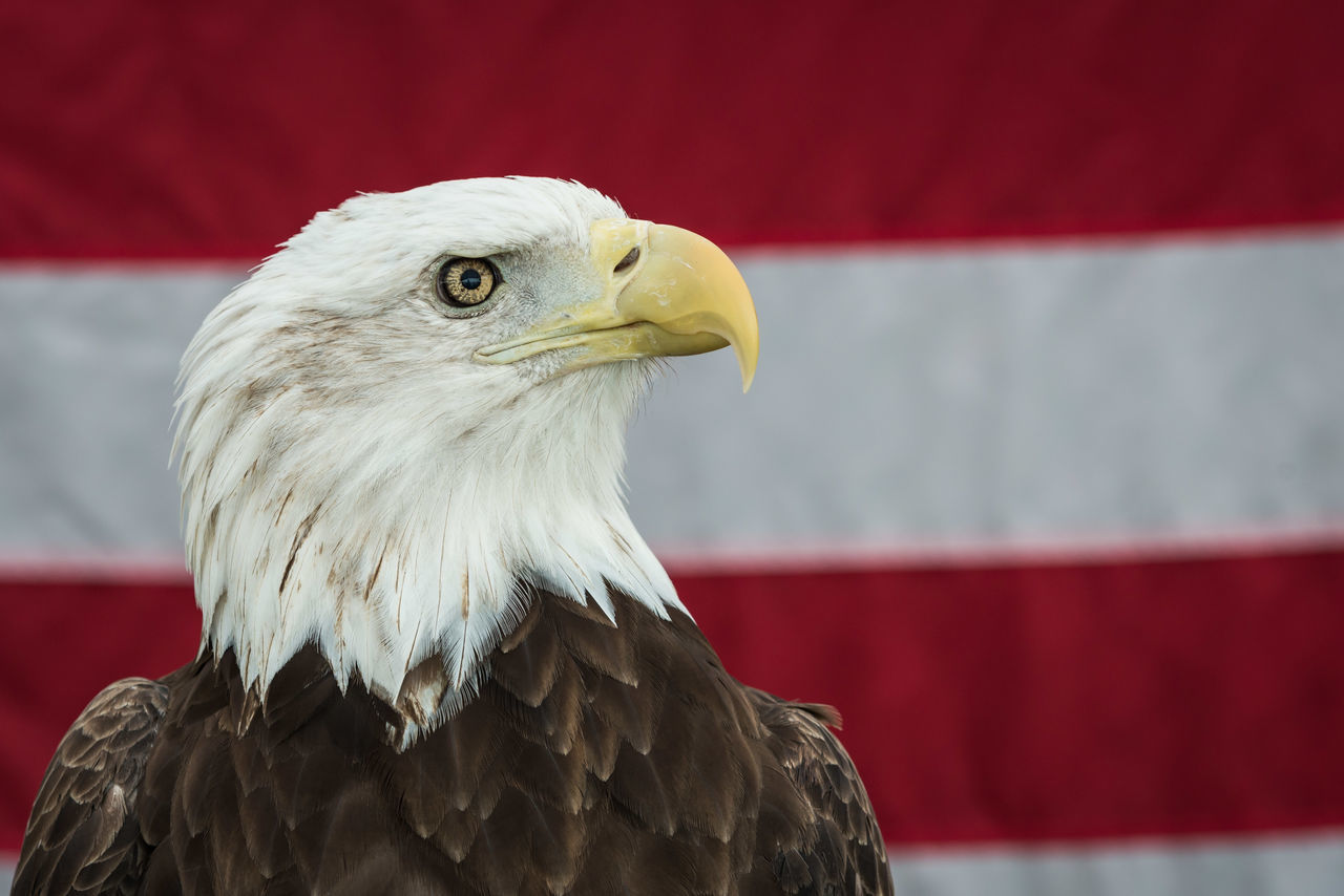 Animal Body Part Animal Eye Animal Head  Animal Themes Bald Eagle Bald Eagle With The American Flag Beak Bird Bird Of Prey Close-up Day Eagle Feather  Focus On Foreground Nature No People Outdoors Portrait Red Wildlife Eagle eagle portrait